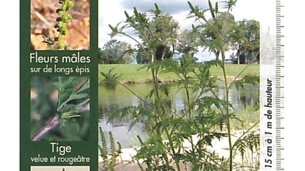 Les ambroisies : plantes invasives