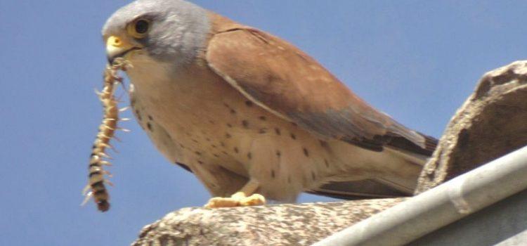 «L'Aousélou», centre de soins pour oiseaux