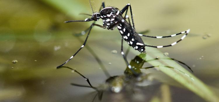 Communiqué de la Préfecture pour éviter la prolifération du moustique tigre