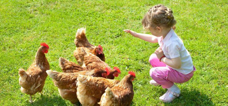 Courriers de lecteurs – Des poules dans nos jardins